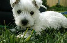 Google Image Result for http://i266.photobucket.com/albums/ii246/vampire_girl2000/Animals/west_highland_white_terrier.gif