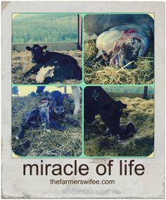 Miracle of life, cow giving birth!