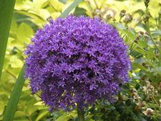P O T A G E R: Ambassador Allium Growing Tips