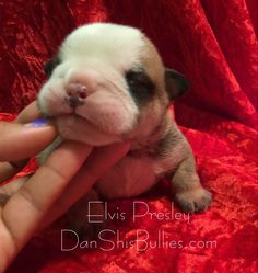 Peek a Boo! I can see you   Little man is starting to open his eyes   DanShisBullies.com  1st pick boy, 2nd pick boy, and 3rd pick boy from litter are reserved. 1 boy and 2 girls available. Picks of litter are usually chosen by the time they are 6 weeks old. 3 puppies will then be available. We are accepting reservation fees for the available puppies.  If you're interested in any of our puppies, you can visit our site to see pictures, pedigree, puppy package, mom's health testing, Puppy/Adul