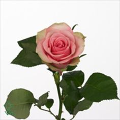 Belle Rose Roses are pink