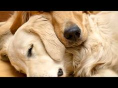 Pet Therapy: Sleep Music for Dogs and Cats (+playlist)   Endless hours of Doggy Relaxation ( usually puts the owners to sleep First )
