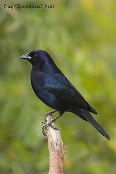 Tordo renegrido. (Argentina) Kinds Of Birds, Love Birds, Beautiful Birds, Rhodesian Ridgeback, Black Animals, Bird Drawings, Bird Pictures, Colorful Birds, Bird Species