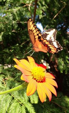 Butterflies are slowly making an appearance in the Butterfly Habitat Garden; tithonia is a favorite nectar plant
