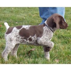 German shorthaired pointer.... He already knows what to do!