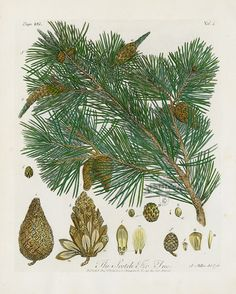 The Scotch Fir Tree from John Evelyn Sylva, Discourse of Forest Trees 1786 Vintage Botanical Prints, Antique Prints, Botanical Art, Botanical Illustration, Forbidden Forest, Fir Tree, Tree Forest, Pine Cones, Landscape Art