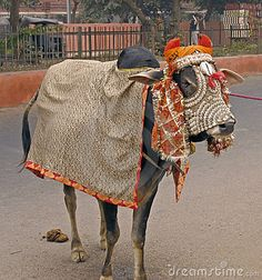 India - sacred cow by Helmut Watson, via Dreamstime