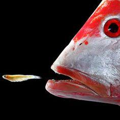Fabulous fish on pinterest fish tanks beautiful fish for Big fish eat little fish