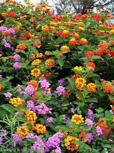 Lantana Tree, Lantana Flower, Lantana Plant, Beautiful Flowers Wallpapers, Beautiful Rose Flowers, Flowers Nature, Tropical Flowers, Patio Trees, Porch Plants