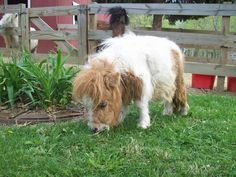 Cute fluffy fuzzy chubby miniature horse that is just too cute! Look at that beautiful soft coat and that sweet little nose buried in the grass nibbling. Pretty Horses, Horse Love, Beautiful Horses, Animals Beautiful, Cute Baby Animals, Animals And Pets, Funny Animals, Farm Animals, Horse Pictures
