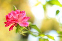 Hot Pink Sidewalk Rose - Flower Photo Print by Mademoiselle Mermaid.