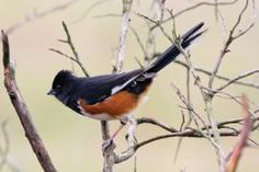"""Eastern Towhee: This beautiful year-round resident songbird invites you to """"drink your teeeeea"""" in Missouri's outdoors.  Not only in Missouri, though!  They're quite common right here in Eastern North Carolina!"""