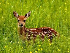 Is like Bambi