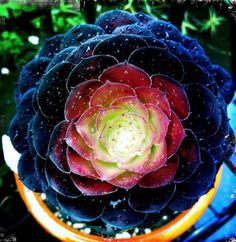Aeonium 'Cyclops' -Giant Red Aeonium- this succulent hybrid was created by eminent southern California horticulturist Jack Catlin.