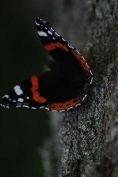 Polly kreativ: Muss ich mich schon entschuldigen oder geht es noch? - Schmetterling Admiral