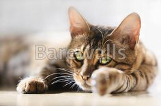 """Bengal cat"" - Cat posters and prints available at Barewalls.com"