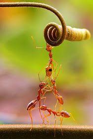 Formiga Soldado Formigas Saúva Formigas com Pulgões Formiga Pote de Mel