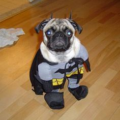 @Stephanie Close Amateis can you please tell Bristol's pug friend to dress like this for Halloween?