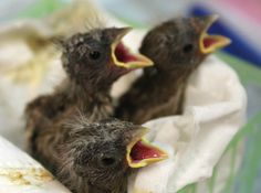 Check out these newborns at the Alabama Wildlife Center's annual Baby Bird Shower
