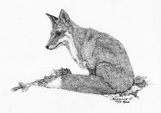 Red Fox Drawing  - Red Fox Fine Art Print