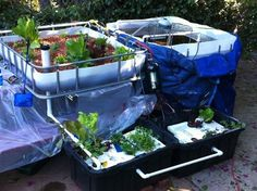 Aquaponic garden fed by a prawn tank. Eat the prawns and the lettuce in one delicious meal!