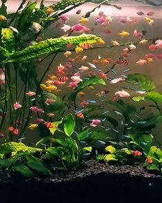 GloFish Community - GloFish Light - Video Credit aquagibb on IG Goldfish Aquarium, Tropical Fish Aquarium, Freshwater Aquarium Fish, Cichlid Aquarium, Tropical Fish Tanks, Aquarium Aquascape, Cool Fish Tanks, Tropical Freshwater Fish, Beautiful Photos Of Nature