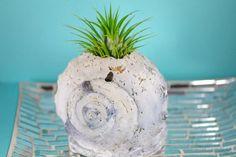 Beautiful mini shell air planter.   #shells #airplants #seashells