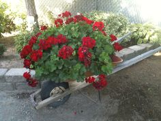 Old wheel barrel  filled with 5 year old geranium