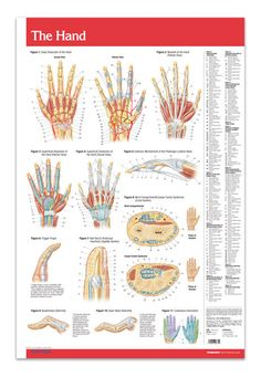"Hand / Joints (Articulations) (Poster Size) Laminated 24"" x 36"" - On one side, you'll find vividly colored diagrams of the hand, including the different views, various levels (dissections), muscles, nail bed & tendinous insertions. On the other side, each joint in the body displayed."