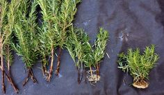 How to propagate Rosemary (Rosmarinus officinalis) Rosemary Propagation Overview: It is very easy to propagate rosemary, if you know how. However, my first few blind attempts were total failures. None the less, if you are aware of two key points/tricks, then you will have no problem. Rosemary propagation trick#1. Take the clippings from a branch ...