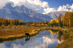 Moose at a mountain lake in Autumn at Grand Teton National Park by D Brent Young