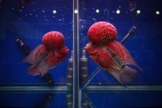 Two flowerhorn cichlids face each other through separate glass tanks at a tropical and ornamental fish exhibition in Bangkok
