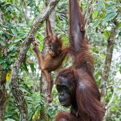 Cute baby but Mama's got that look Nature Animals, Baby Animals, Wild Animals, Baby Orangutan, Ape Monkey, Power Animal, Beautiful Forest, Primates, Borneo