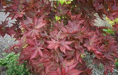 Dwarf tree - Acer palmatum ' Beni hoshi ' Dwarf Red Star Japanese Maple Tree