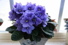 Tips for African Violet Care Use these beginner's tips for growing African violets to learn the basics of caring for an African violet plant.Use these beginner's tips for growing African violets to learn the basics of caring for an African violet plant. Garden Plants, Indoor Plants, Herb Garden, Indoor Garden, Violet Plant, Belle Plante, Saintpaulia, Inside Plants, House Plant Care