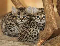 The Black-Footed Cat of South Africa:  These Two Are The Adorable Kittens.  An adult weighs  3lbs or less!  They are secretive & rare and are among the world's smallest cats.  During the day they live in abandoned burrows dug or in holes in termite mounds. Their diet consists of small mammals, birds, insects, arachnids & reptiles.