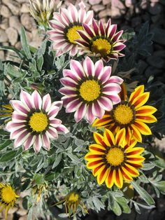 Gazania is one of those water efficient groundcovers.  It can replace that thirsty lawn in a snap, and you'll be saving water in no time.