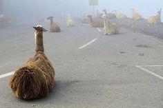 De organisatie van de Tour de France maakt zich zorgen over het grote aantal lama's op het parcours. De wielrenners moeten zaterdag over de Col du Tourmalet, maar de weg wordt geblokkeerd door enkele tientallen boze lama's. De achtste etappe van de Tour de France voert de renners van Pau naar Bagnères-de-Lunchon. De Franse krant Sud Ouest slaat alarm over [...]