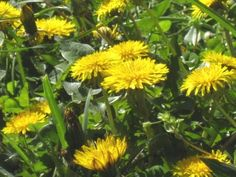 The Slow Cook: What to Do with Dandelions