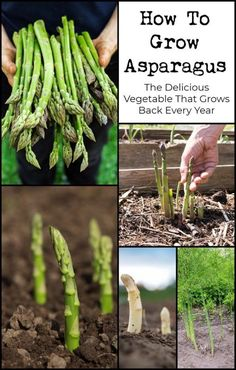 Garden Types How To Grow Asparagus: The Delicious Vegetable That Grows Back Every Year – Gardening Garden Types, Organic Vegetables, Growing Vegetables, Planting Vegetables, Growing Plants, Regrow Vegetables, Veggies, Asparagus Plant, Asparagus Farm