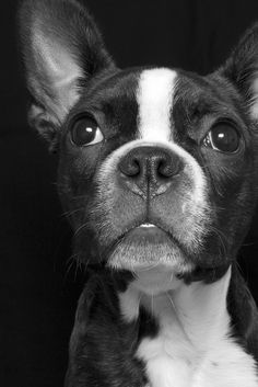 It's like a cross between Ace & Zeus! Terrier Breeds, Terrier Puppies, Dogs And Puppies, Chihuahua Dogs, Terrier Mix, Doggies, White Terrier, Boston Terriers, Boston Terrier Love