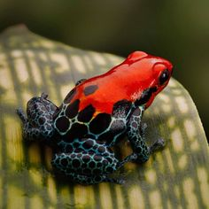 Strawberry poison dart frog -- Not! more likely a R. fantisticus