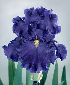 Breakers German Iris