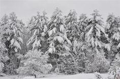 Winter Evergreens