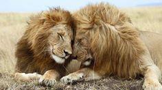 Affectueux Lions, Réserve nationale du Masai Mara, au Kenya Fond d'écran HD