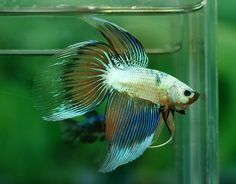 Old school fancy veiltail Beta Fish, Siamese Fighting Fish, Stunning Photography, Fish Tanks, Fancy, Animals, Beautiful, School, Boys