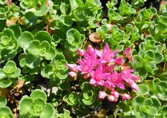 Sedum (Stonecrop) is a very diverse genus of drought-tolerant succulent plants. These attractive care-free succulents are highly sought after for use in perennial gardens, container gardening or greenroofs. Cacti And Succulents, Planting Succulents, Succulent Images, Drought Tolerant Plants, New Leaf, Trees To Plant, Container Gardening, Evergreen, Shrubs