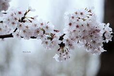 Sakura 2009 by scion_cho, via Flickr