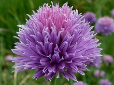 Types of Flowers – Flowers are beautiful, come in a massive array of shapes, sizes, and colors. Different types of flowers are used for many reasons in almost all cultures. Allium Flowers, Flowers Perennials, Lavender Flowers, Purple Flowers, Planting Flowers, Lavander, Flowering Plants, Blooming Flowers, Edible Bouquets