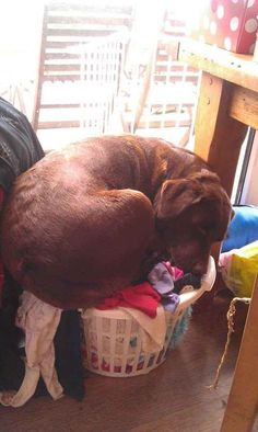 The dog that doesn't care about your dang laundry: | 21 Dogs That Are Completely Mistaken About How Big They Are